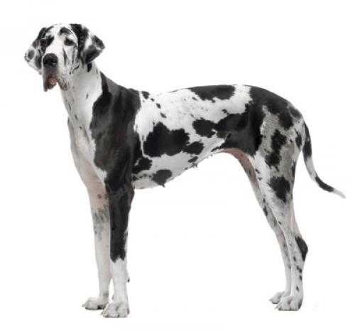 great dane dog