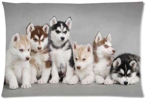 Siberian Husky Puppies 4
