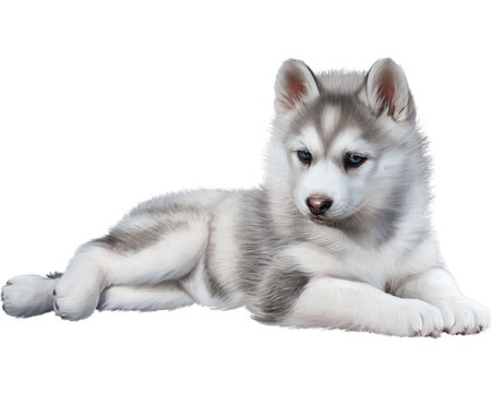 Siberian Husky Puppies 8