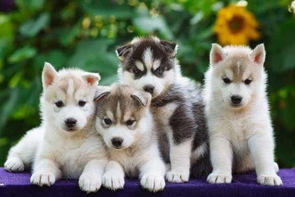 Siberian Husky Puppies 3