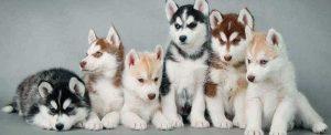 Siberian Husky puppies 2