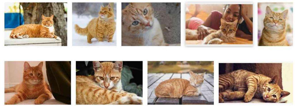 orange tabby cats 2