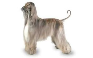 Afghan Hound Expensive Dogs
