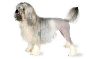 Löwchen Dog Breed