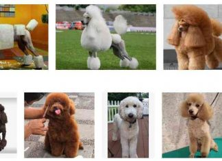 Poodle Haircuts