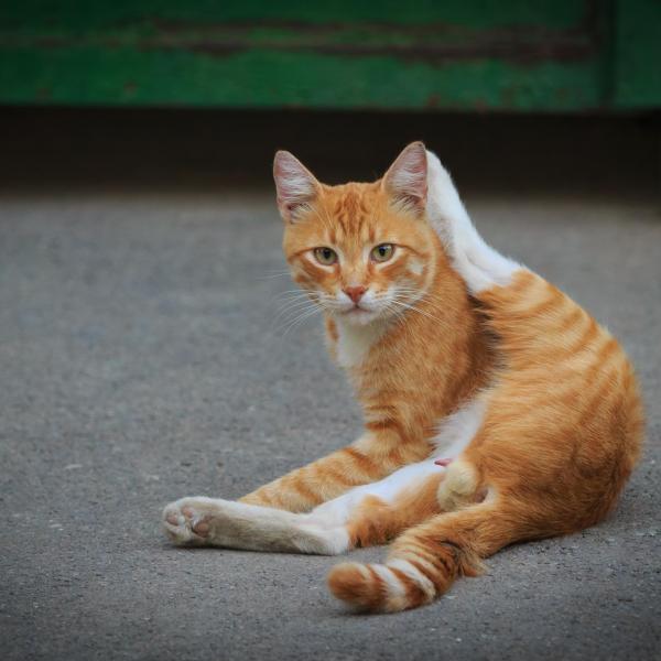 Male Cat Penis