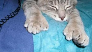 Polydactyl Cats 1