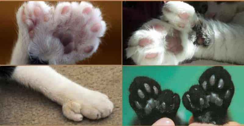 Polydactyl Cats 2