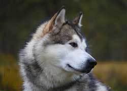Alaskan Malamute Fluffiest Dogs