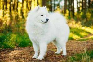 American Eskimo Dog 2