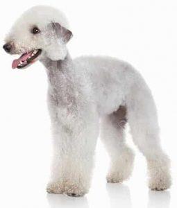 Bedlington Terrier low maintenance dog