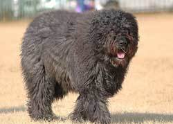 Bouvier des Flandres Fluffiest Dogs