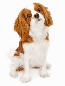 Cavalier low maintenance dog