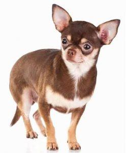 Chihuahua low maintenance dog