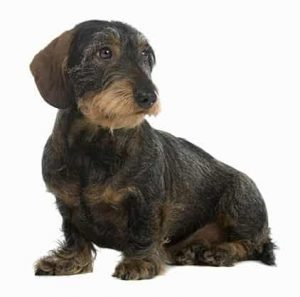 Dachshund low maintenance dog