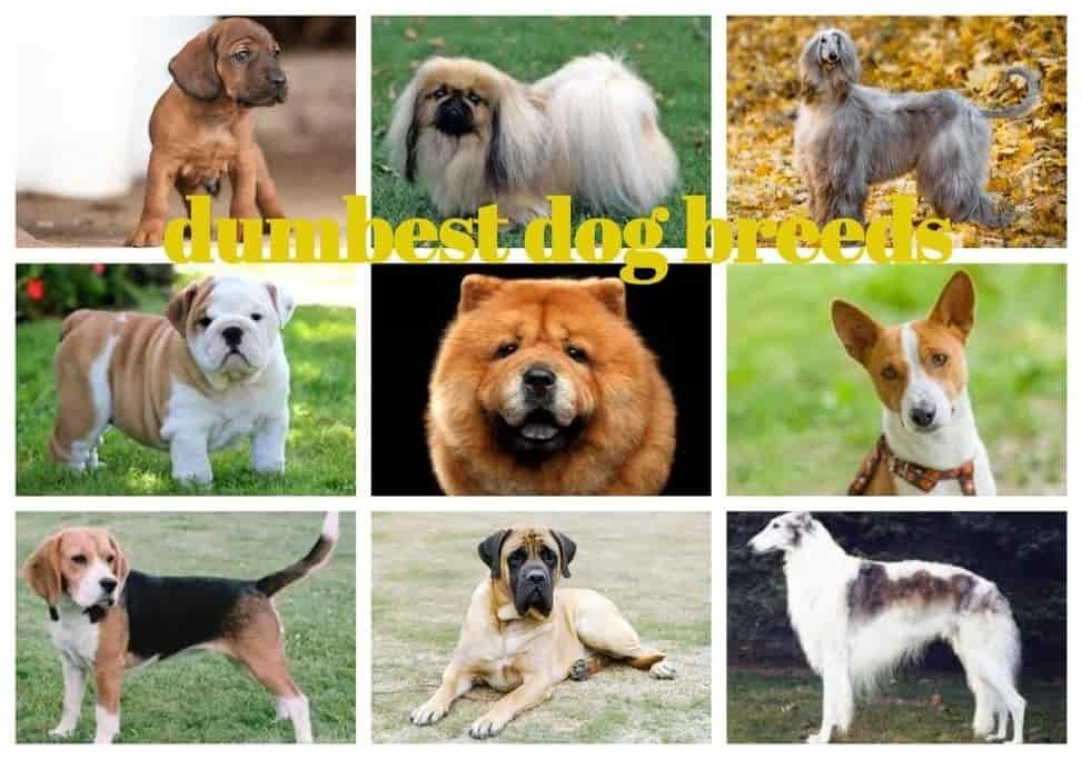Dumbest Dog Breeds 1