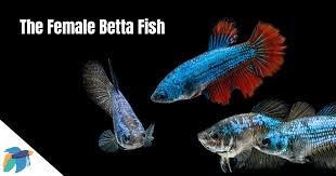 Female Betta Fish 2