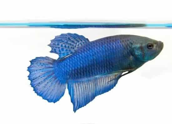 Female Betta Fish 3