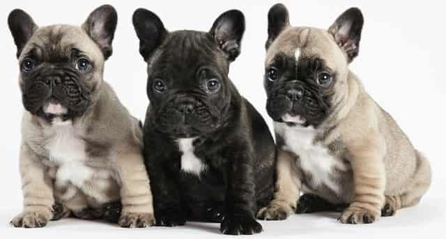 Food For French Bulldog Puppy