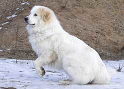 Great Pyrenese big fluffy dogs