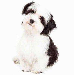 Havanese low maintenance dog