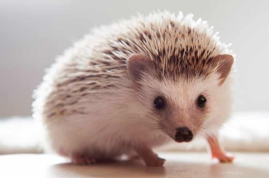 Hedgehog Pet 1