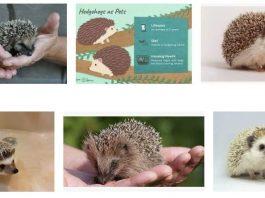 Hedgehog Pet Guide