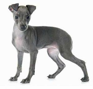 Italian Greyhound low maintenance dog