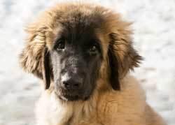 Leonberger big fluffy dogs