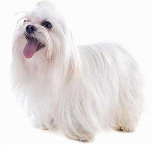 Maltese low maintenance dog