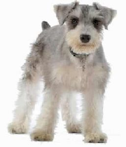 Miniature Schnauzer low maintenance dog