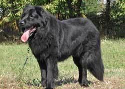 Newfoundland Fluffiest Dogs