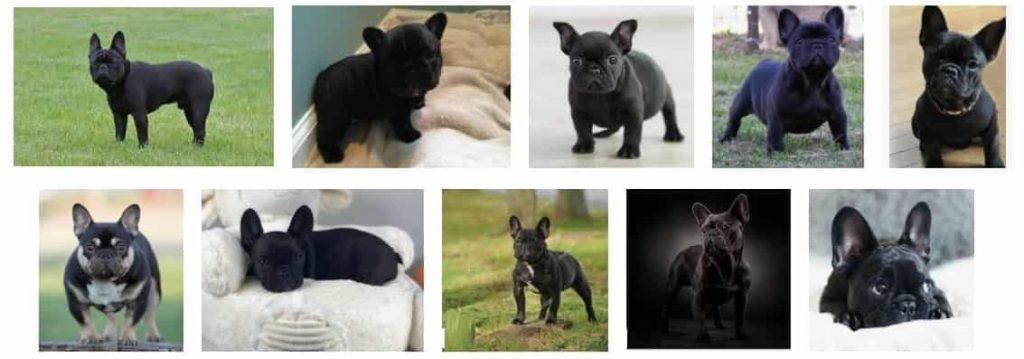 PURE BLACK French Bulldog