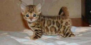 Pixie Bob Kitten
