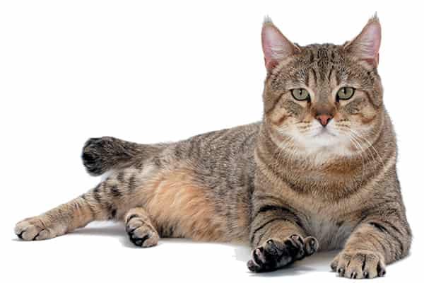 Pixie bob Cat 2