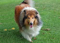 Rough Collie big fluffy dogs