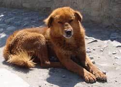 Tibetan Mastiff Fluffiest Dogs