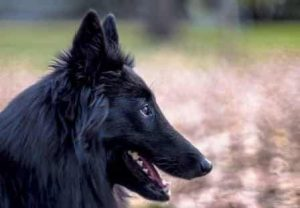 big fluffy belgian sheepdog