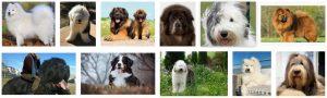big fluffy dogs breeds