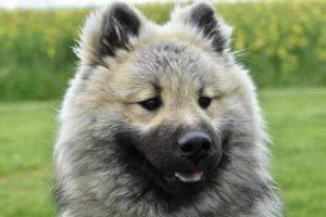 big fluffy eurasier dog