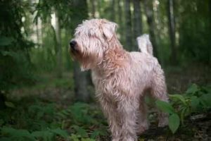 big fluffy wheaten dog