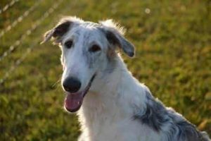 borzoi white fluffy dog