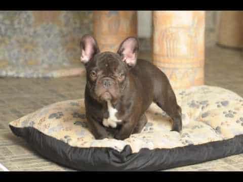 chocolate french bulldog 1