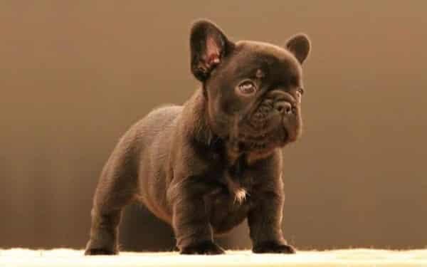 chocolate french bulldog 3