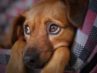 Puppy strangles 1