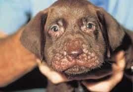 Puppy strangles 2