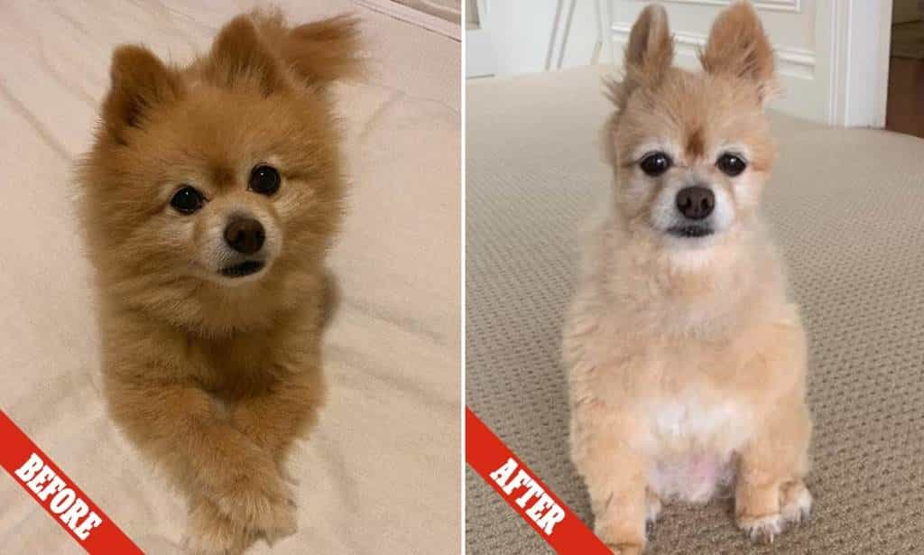 Shaved Pomeranian 2