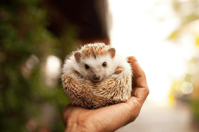 About Hedgehog As Pets 1