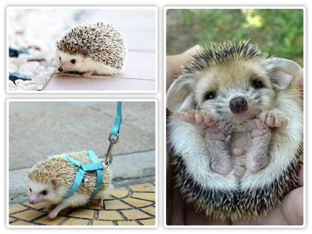 About Hedgehog As Pets 2