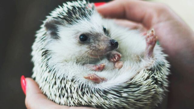 About Hedgehog As Pets 3